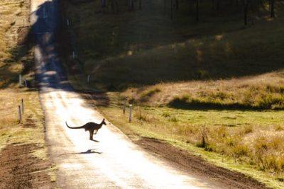 10 интересни факта за кенгурутата