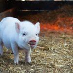 10 интересни факта за прасенцата
