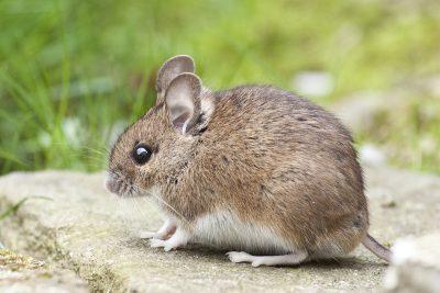 10 интересни факта за мишките